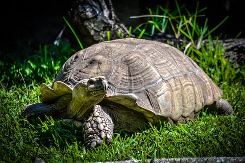 Close-Up Shot of a Tortoise on the Grass
