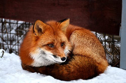 Brown Fox on Snow Covered Ground