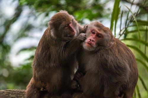 Small Monkey Picking Lice on Hair of Big Monkey