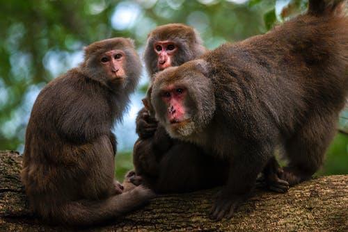 Three Brown Monkeys on Brown Tree