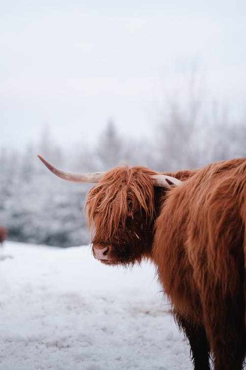 Gratis stockfoto met beest, Bos, bruine koe