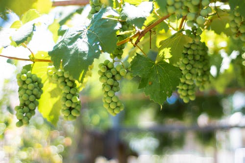 Green Grapes Hanging on Vine