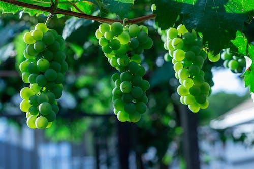 Close Up Photo of Green Grapes