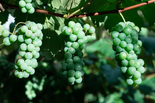 Close Up Photo of GreenGrapes Hanging on a Vine