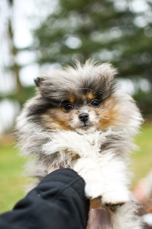 Person Holding White and Brown Long Haired Small Dog
