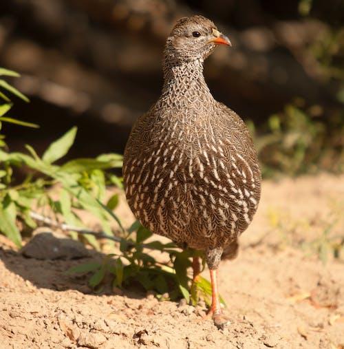 Photo of Cape Spurfowl