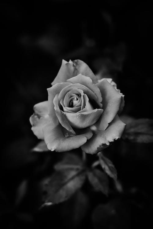 Blooming rose flower against blurred dark background