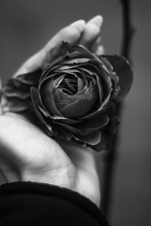 Black and white of crop unrecognizable woman touching delicate blooming rose growing in garden in daytime