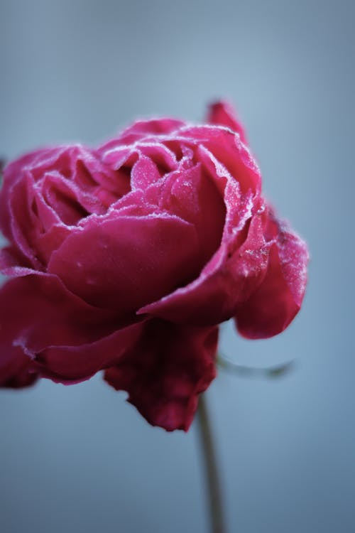 Red rose against blurred background