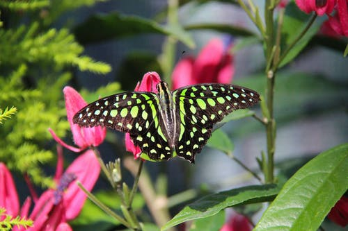 Photo of a Tailed Jay Butterfly