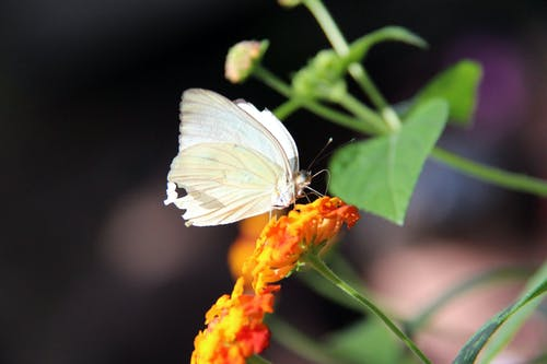 Photo of a Ascia Monuste Butterfly