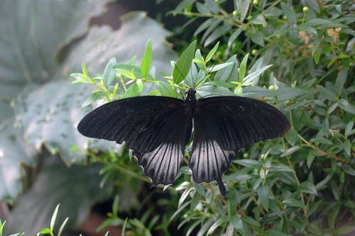 Black Butterfly on Green Leaves