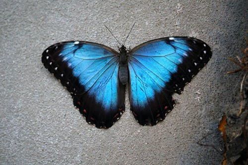 Photo of a Morpho Butterfly