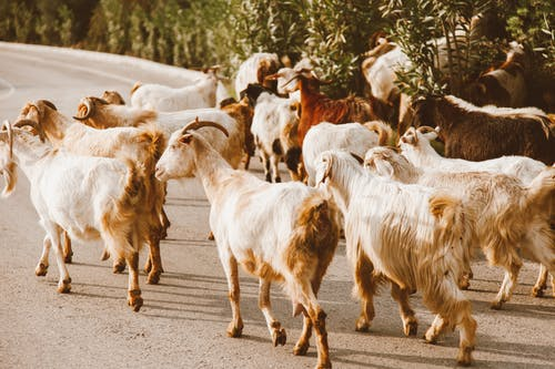 Бесплатное стоковое фото с дневной свет, домашний скот, животные