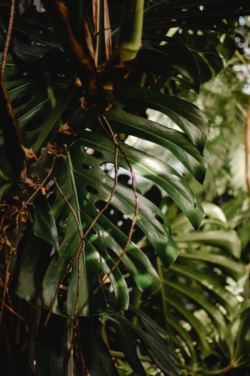 คลังภาพถ่ายฟรี ของ monstera deliciosa, ก้าน, การเจริญเติบโต