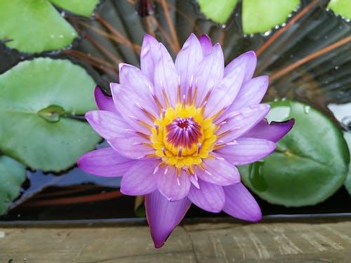 Бесплатное стоковое фото с водное растение, красивый, крупный план