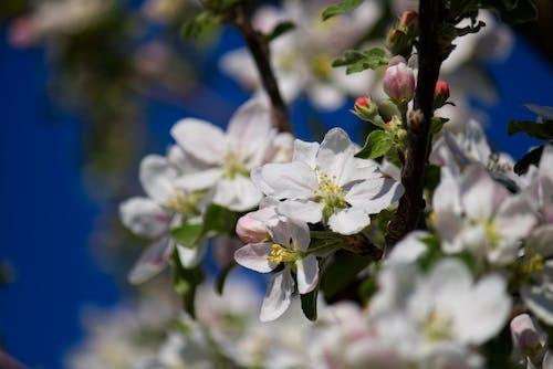 Free stock photo of apple blossom, bloom, blue sky