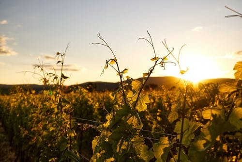 Free stock photo of desktop backgrounds, grape vine, grapevines