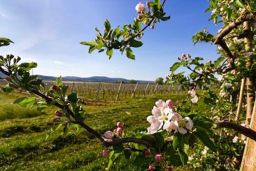 Free stock photo of 4k wallpaper, apple blossom, apple tree