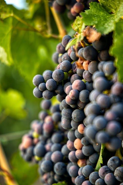 Close Up Photo of Black Grapes