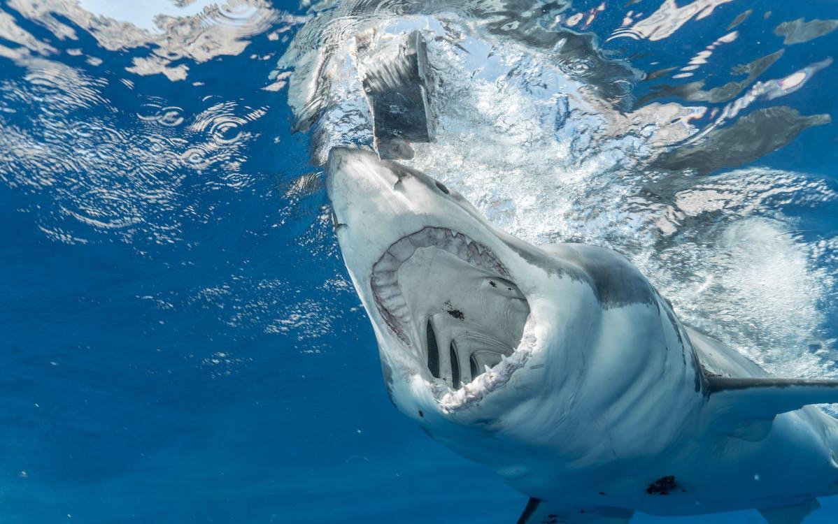 Dangerous shark with sharp teeth hunting in clean transparent water of vast blue ocean