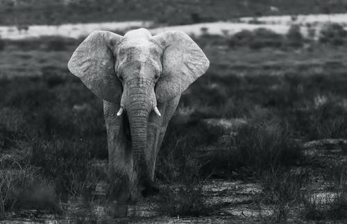 Elephant on Grass Field in Grayscale Photography
