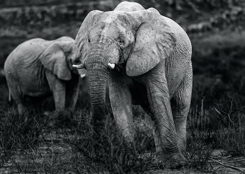 Free stock photo of african elephant, afrika, afrikanische tierwelt