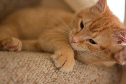 動物, 寵物, 特寫, 貓 的 免費圖庫相片