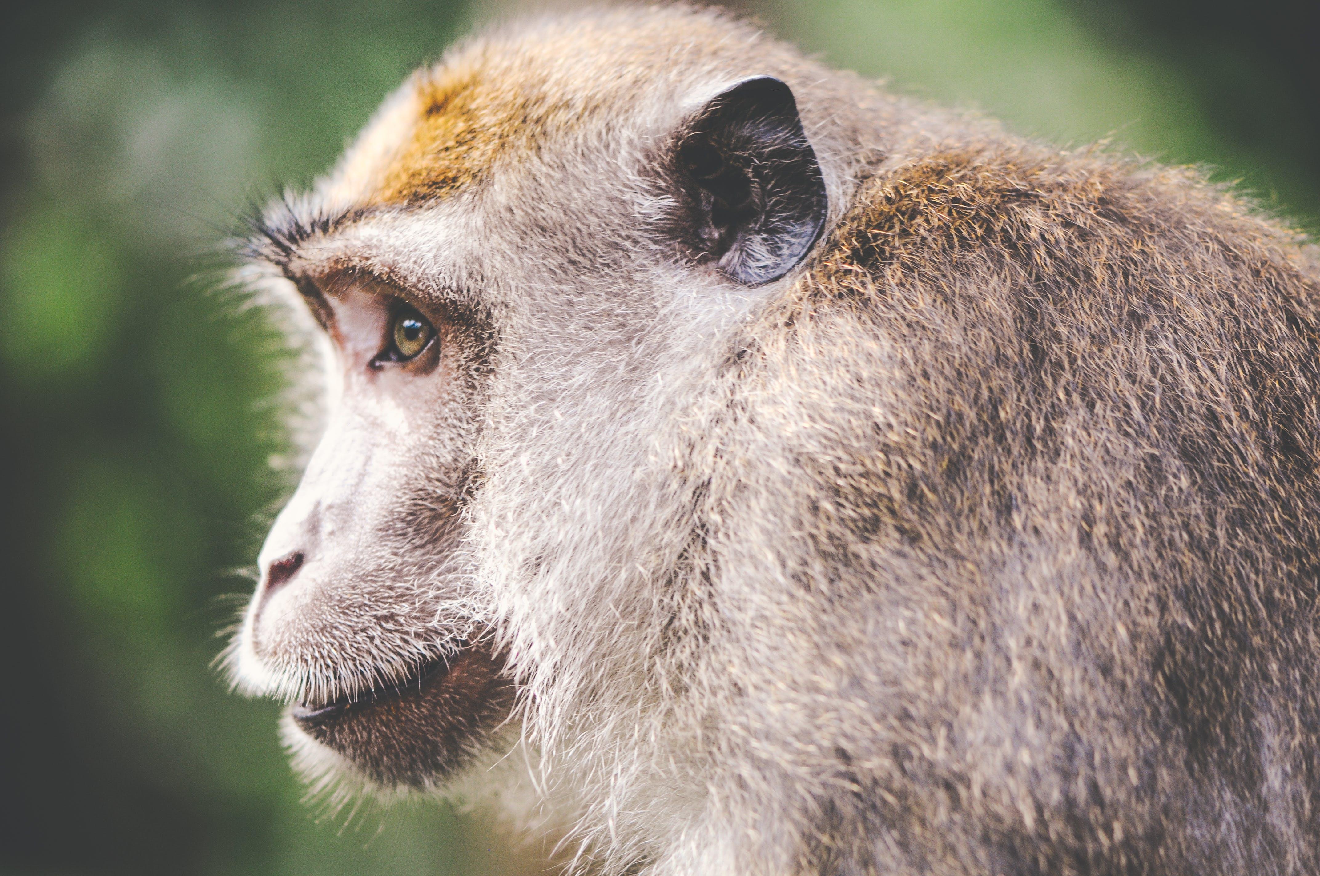animal, monkey, wilderness