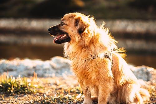 Free stock photo of alert, animal, canine