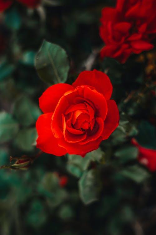つぼみ, デコレーション, バラの無料の写真素材