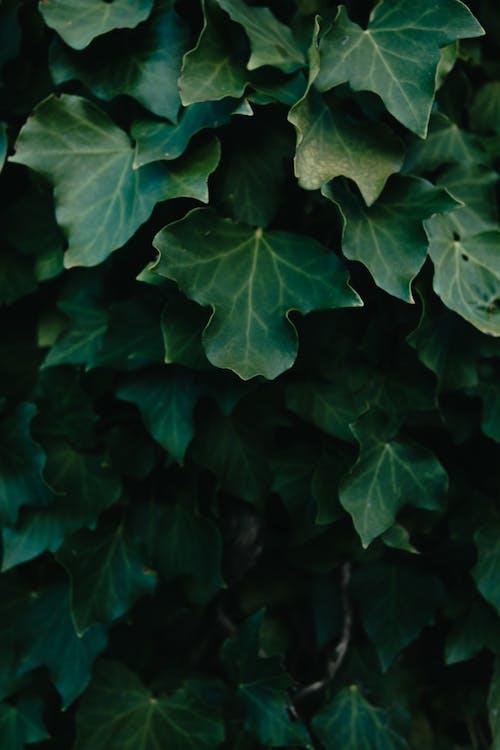 Ảnh lưu trữ miễn phí về cây nho, cây thường xuân, gỗ, hệ thực vật