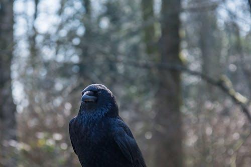 Fotos de stock gratuitas de animal, animal salvaje, cuervo, fauna