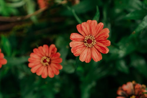Top view of blooming red Osteospermum flower growing among green leaves in garden