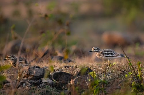 Side view of stone curlews carnivorous bird walking on grassy meadow in natural habitat