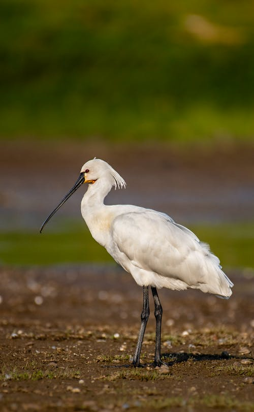 White feathered common spoonbill in marsh