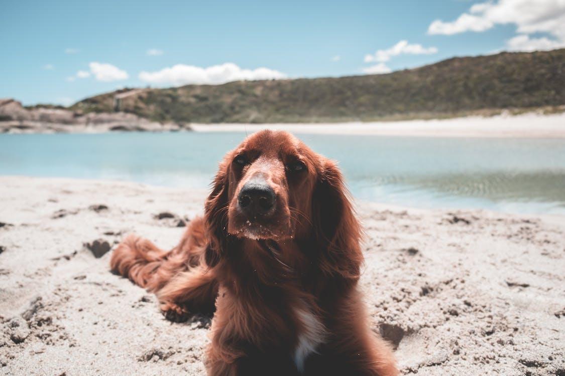 Cute Irish setter on shore