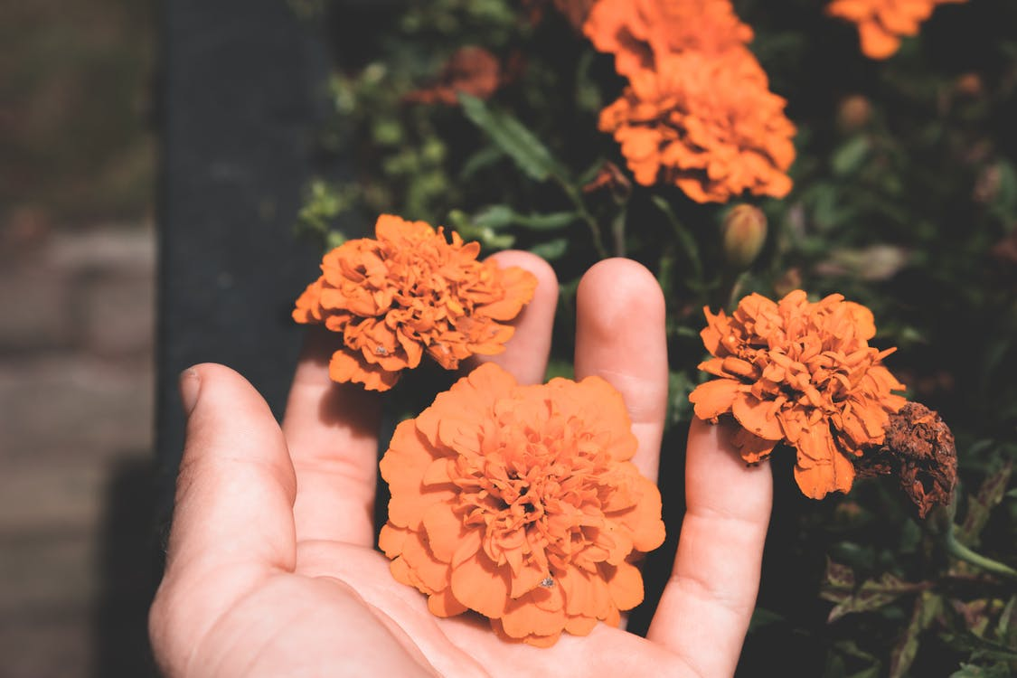 Orange blooming marigolds in hand of person