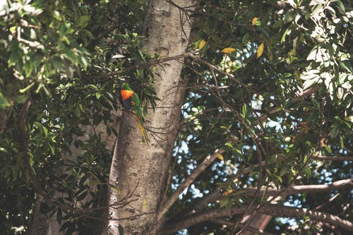 Trichoglossus moluccanus bird sitting on green tree twin in park