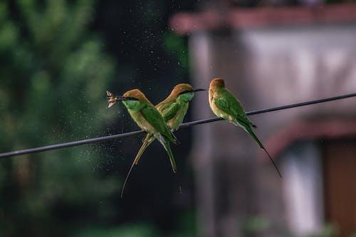 Free stock photo of Bee Eater, bewilder, birds