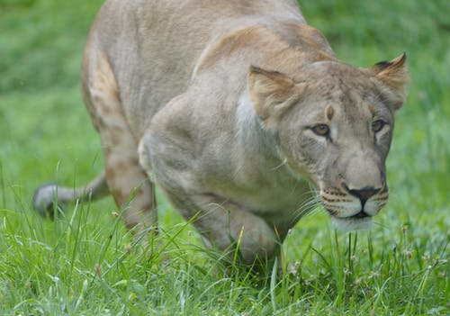 Free stock photo of lion
