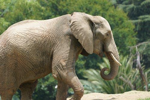 Elephant Walking on the Road