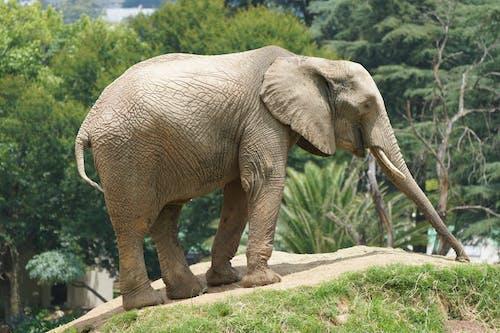 Elephant Walking on Concrete Pathway