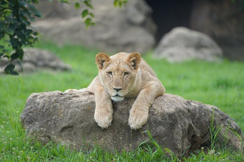 Brown Lioness Lying on Gray Rock