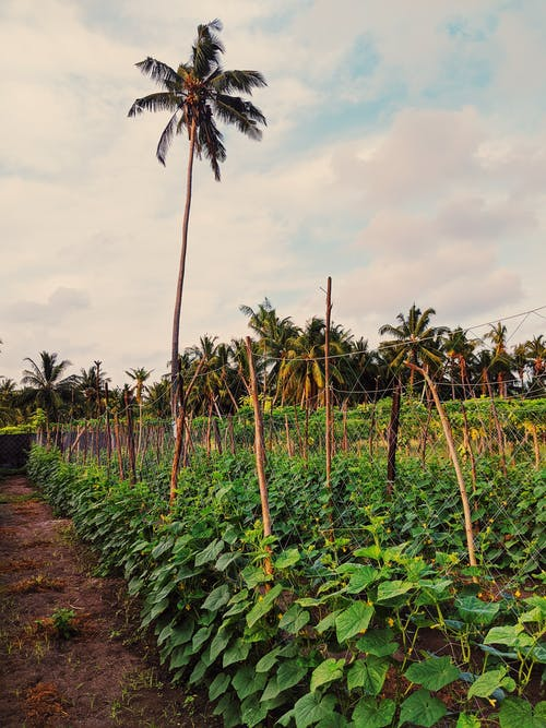 Cucumber field with green leaves and wooden poles growing on farmland with tall exotic palm in suburb area of countryside