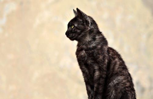 Free stock photo of animals, black cat, cat, cat eye