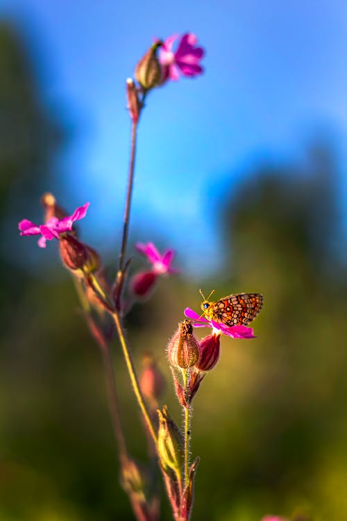 Brown and Black Butterfly Perched on Pink Flower in Close Up Photography