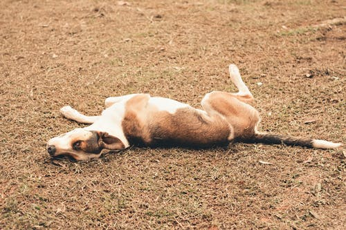 High angle of adorable dog lying on ground scratching back on with grass in countryside