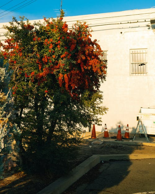 Blooming tree near old brick building