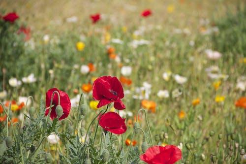 Δωρεάν στοκ φωτογραφιών με ανθίζω, άνθος, λουλούδια, παπαρούνα